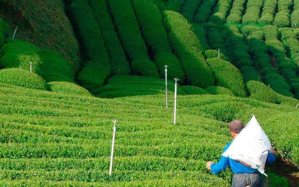 té de taiwán
