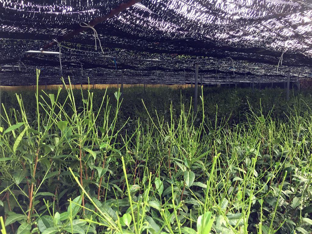 gyokuro field