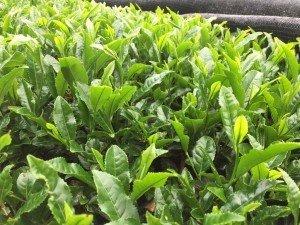 plantación de té japonés