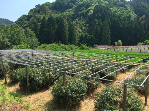plantación de té para gyokuro