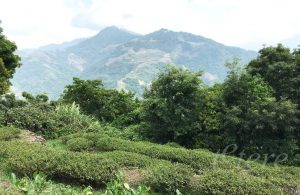 té negro de Taiwán jade ruby